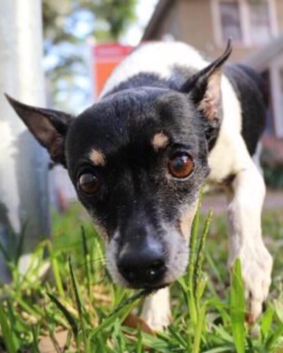 Zeus Rescues Terrier-Rat Mix